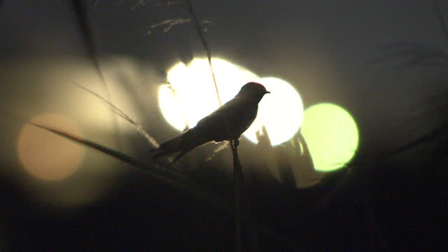 swallows fly home to roost - appollaiarsi video stock e b–roll