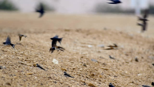 Swallows rest during migration over the desert on their way north to Europe