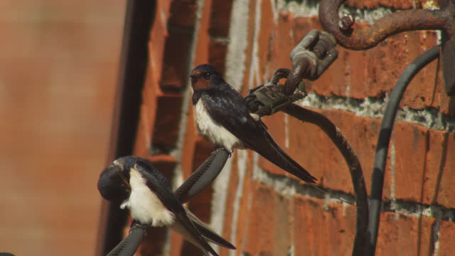ms 2 swallows sitting on wire and preening then 1 flies off - songbird stock videos & royalty-free footage