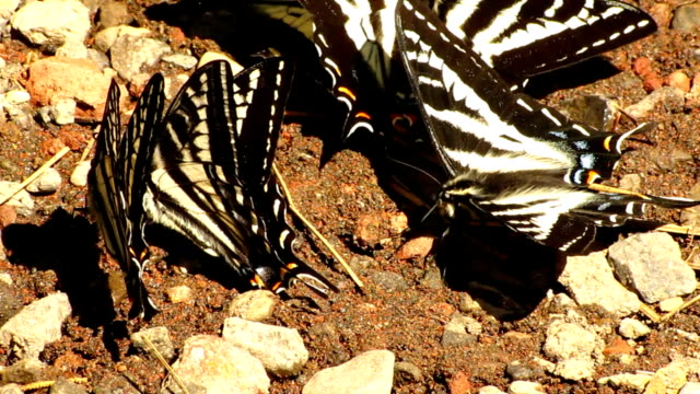 swallowtail butterflies - puddle stock videos & royalty-free footage