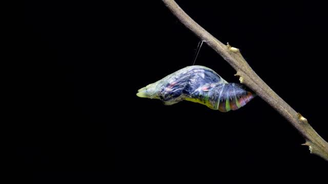 vidéos et rushes de papillon machaon émergent du laps de temps chrysalis butterfly ball dci4k - cocon