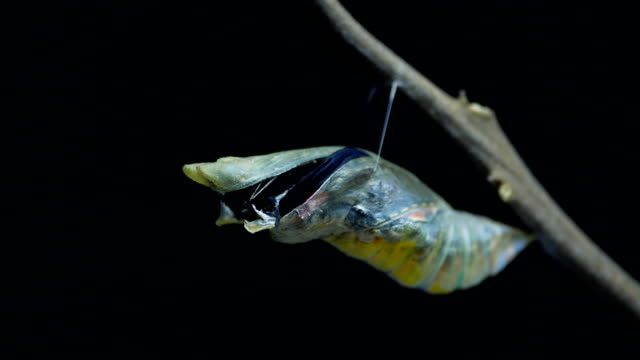 swallowtail butterfly emerge from chrysalis butterfly ball - farfalla video stock e b–roll