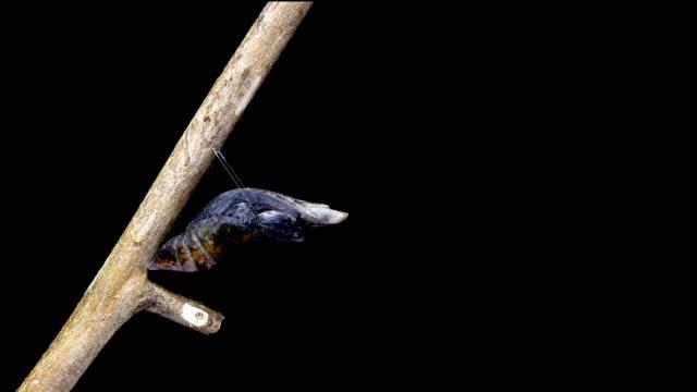 vidéos et rushes de papillon machaon qui sortent d'un laps de temps de chrysalide 4k - cocon