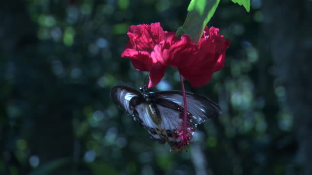 Swallowtail butterfly (Papilio) feeds on Hibiscus flower, Madang, Papua New Guinea