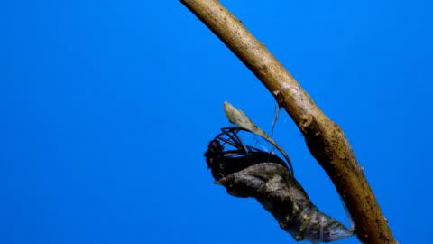 swallowtail butterfly nyfödda chroma key tidsfördröjning dci - ändra form bildbanksvideor och videomaterial från bakom kulisserna