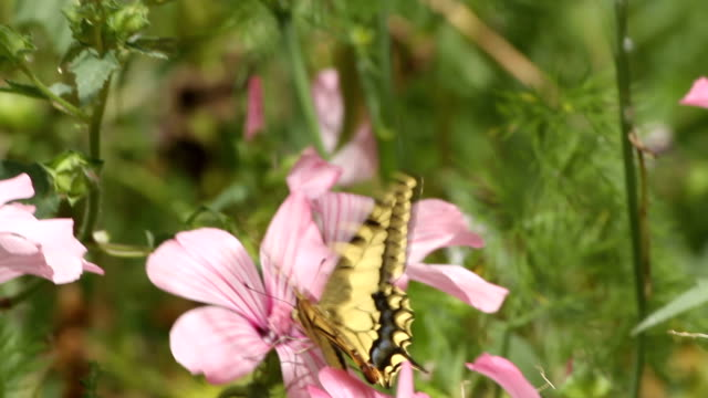 swallowtail butterfly on a flower - animal markings stock videos & royalty-free footage