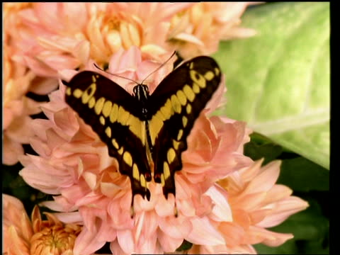 CU Swallowtail butterfly on flower, opening and closing its wings
