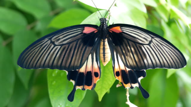 swallowtail butterfly on leaf - animal wing stock videos & royalty-free footage
