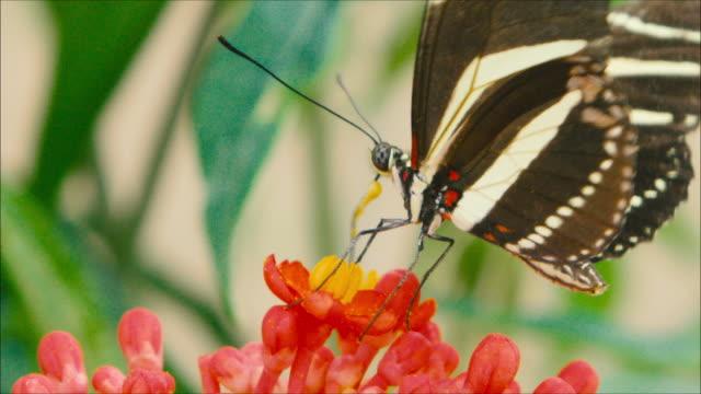 swallowtail butterfly sucking pollen from a red flower - 動物の色点の映像素材/bロール