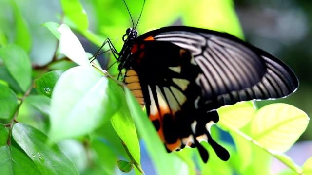 stockvideo's en b-roll-footage met koninginnenpage vlinder - voelspriet