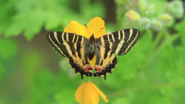 swallowtail butterfly (luehdorfia puziloi) - gliedmaßen körperteile stock-videos und b-roll-filmmaterial