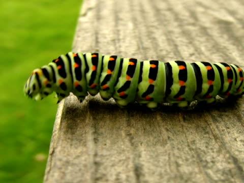 vídeos de stock, filmes e b-roll de amigo: lagarta de andorinha - larva