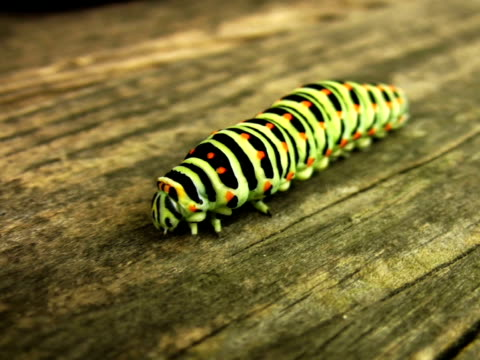 pal: swallowtail caterpillar - invertebrate stock videos & royalty-free footage