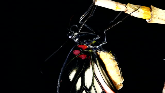 swallowtail close-up - animal wing stock videos & royalty-free footage