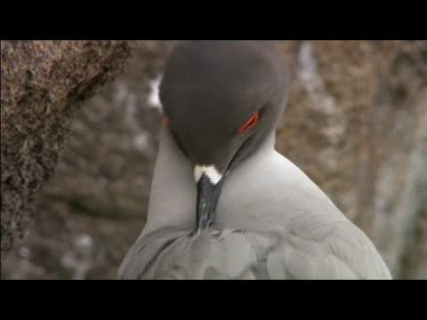 swallow-tailed gull (creagrus furcatus) preening on rock / genovesa island, galapagos islands - preening stock videos & royalty-free footage