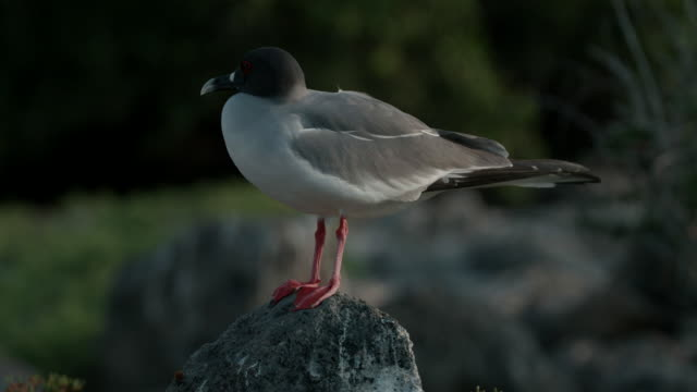 swallow-tailed gull standing on rock - swallow tailed gull stock videos & royalty-free footage