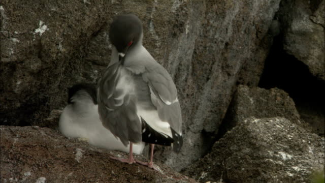 a swallow-tailed gull stands on a rock preening itself. - swallow tailed gull stock videos & royalty-free footage