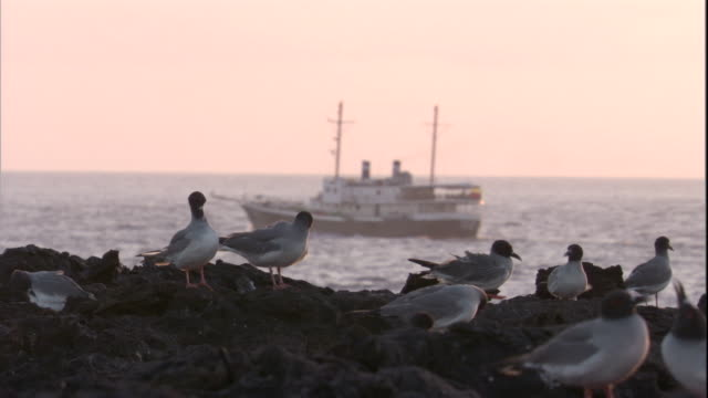 swallow-tailed gulls preen on a coast as a boat floats by. available in hd. - swallow tailed gull stock videos & royalty-free footage
