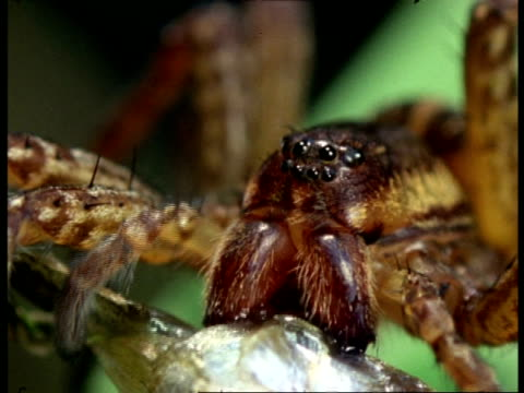 swamp spider (dolomedes) eating fish, england - extreme close up stock videos & royalty-free footage