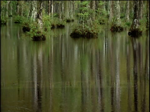 ws ms ha tilt up la swamp water and cypress trees - swamp stock videos & royalty-free footage