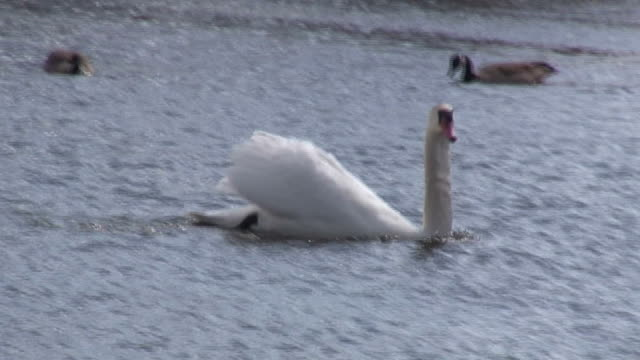 vídeos de stock e filmes b-roll de swan/2-hd 1080 60i - quatro animais