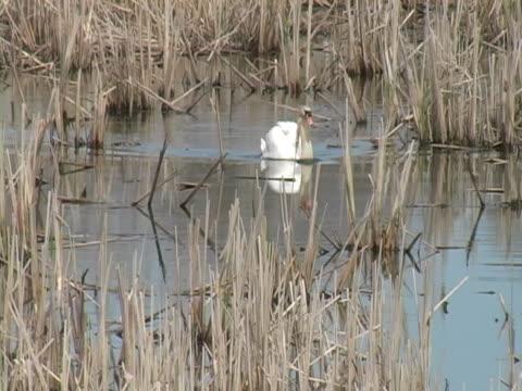swan und blackbird - rotschulterstärling stock-videos und b-roll-filmmaterial