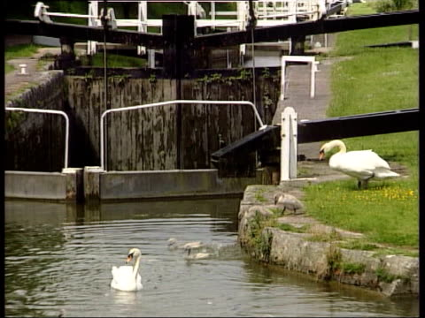 stockvideo's en b-roll-footage met ms swan and cygnets into canal from bank - jonge zwaan