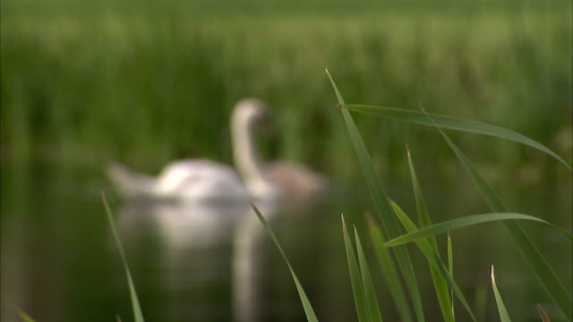 A swan and cygnets swim and preen in a pond in the English countryside. Available in HD.