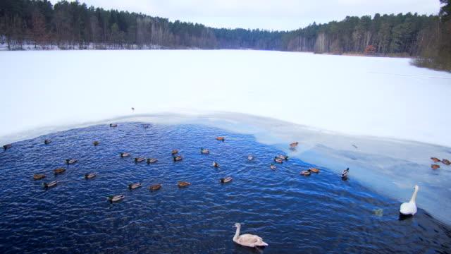 swan und enten füttern auf dem see im winter - wasservogel stock-videos und b-roll-filmmaterial