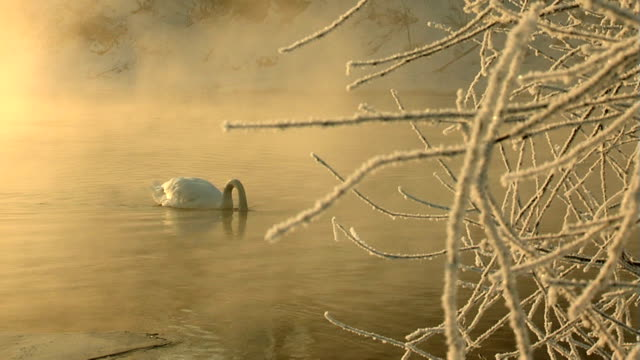 swan and frost. - swan stock videos and b-roll footage