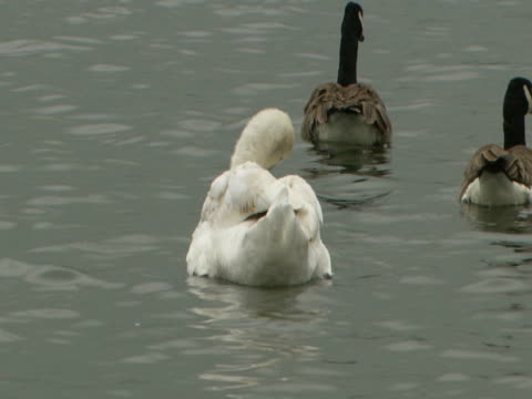 vidéos et rushes de swan and geese on lake, swimming, swan preening feathers, calm, tranquil - cygne tuberculé
