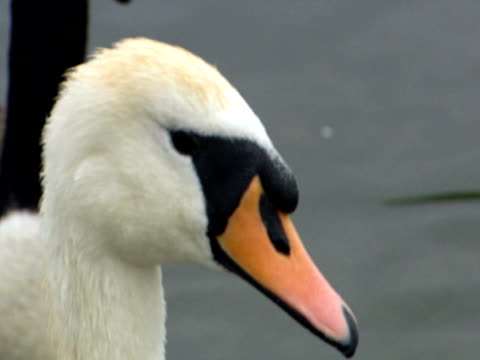 vidéos et rushes de swan and goose, on lake, swimming, species interact, calm  s - cou d'animal