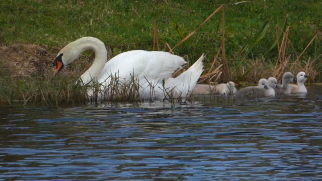 swan and her cygnets - mute swan stock videos & royalty-free footage