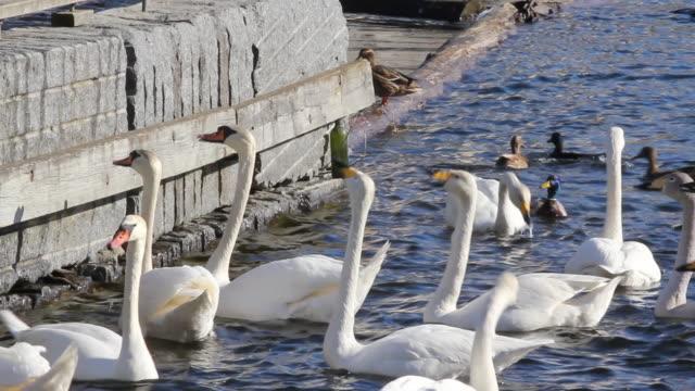 swan und andere bird's - water bird stock-videos und b-roll-filmmaterial