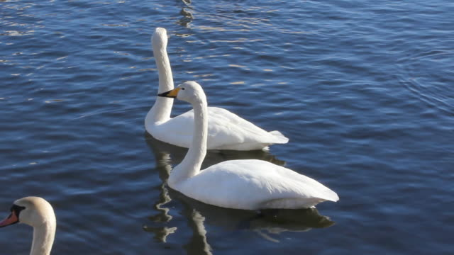 swan and other bird's - water bird stock videos & royalty-free footage