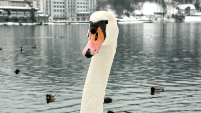 hd: swan al lago di bled - cigno video stock e b–roll