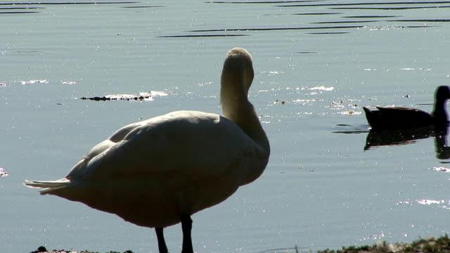 vídeos y material grabado en eventos de stock de swan en lakeside - cuello de animal