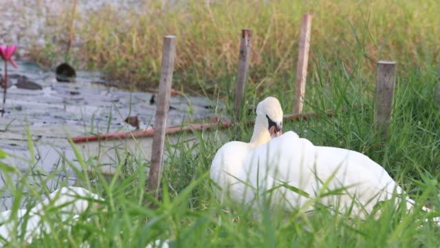 swan at lakeside