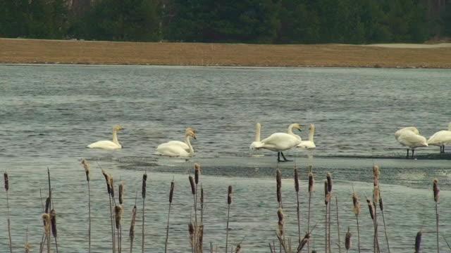 Swan Ataque