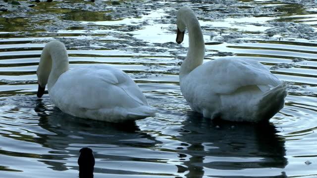 vídeos y material grabado en eventos de stock de swan de baño - cuello de animal