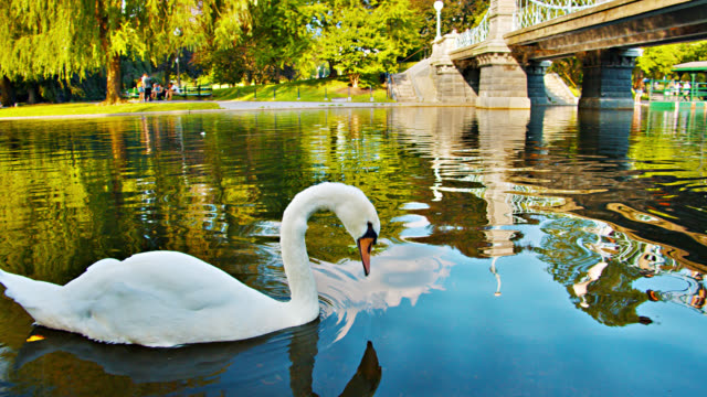 swan, bridge. nature. pond. boston common park - mute swan stock videos & royalty-free footage