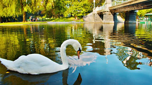 vídeos y material grabado en eventos de stock de cisne, puente. naturaleza. estanque. boston common park - cisne blanco común