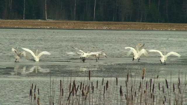 swan chase - swan stock videos & royalty-free footage