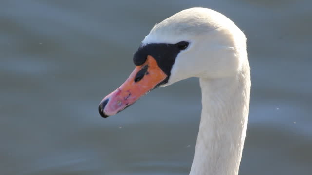 swan close up. - water bird stock videos & royalty-free footage