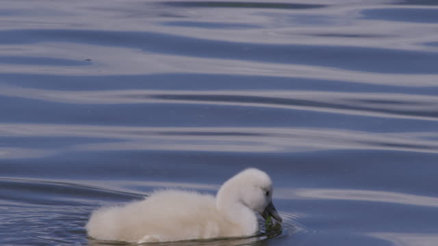 A swan cygnet at Lake Yamanakako in Japan