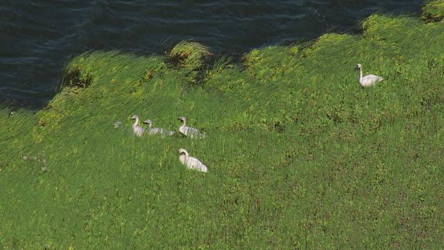 swan family near water in alaska - swan stock videos & royalty-free footage