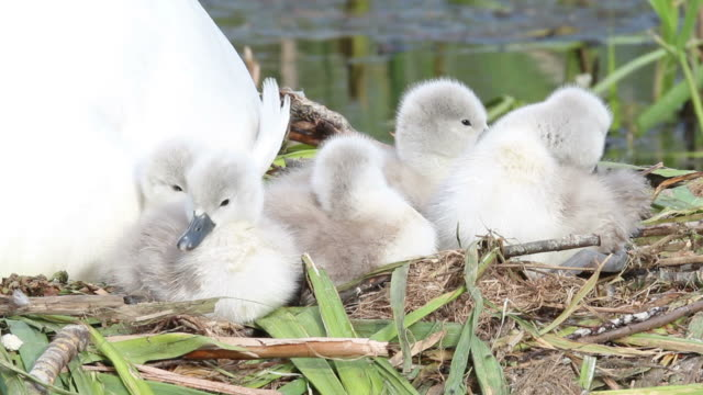 stockvideo's en b-roll-footage met swan family offspring - middelgrote groep dieren