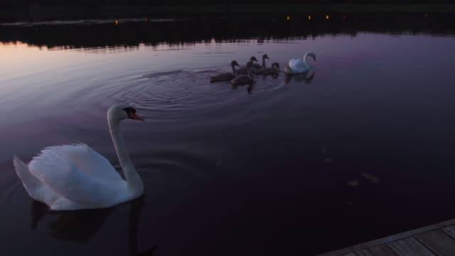 swan family on river during beautiful vivid sunset - djurmun bildbanksvideor och videomaterial från bakom kulisserna