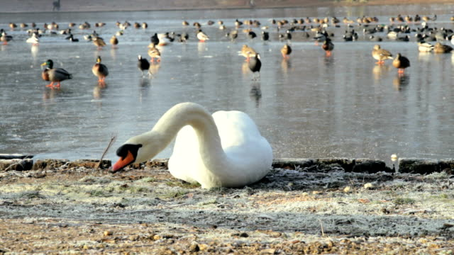 swan feeding - ente wasservogel stock-videos und b-roll-filmmaterial
