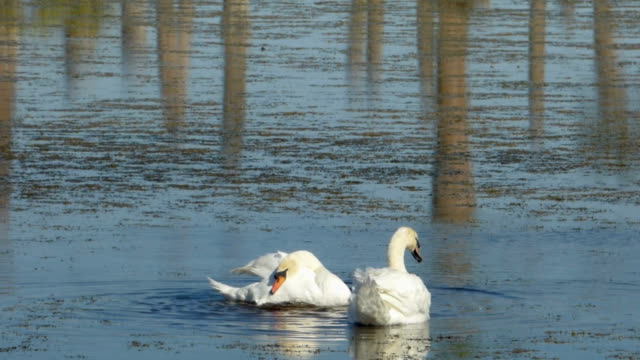 swan flapping wings - mute swan stock videos & royalty-free footage